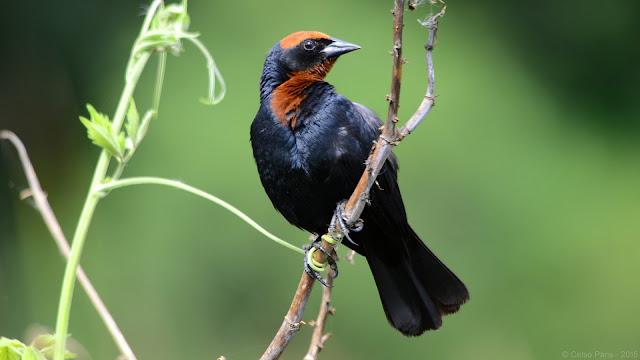 Chesnut-capped Blackbird Chrysomus ruficapillus Garibaldi Turpial de Gorro Castaño