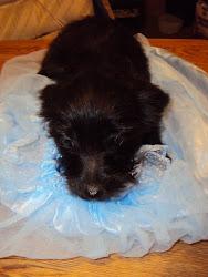 Black Yorkie-Poo puppy