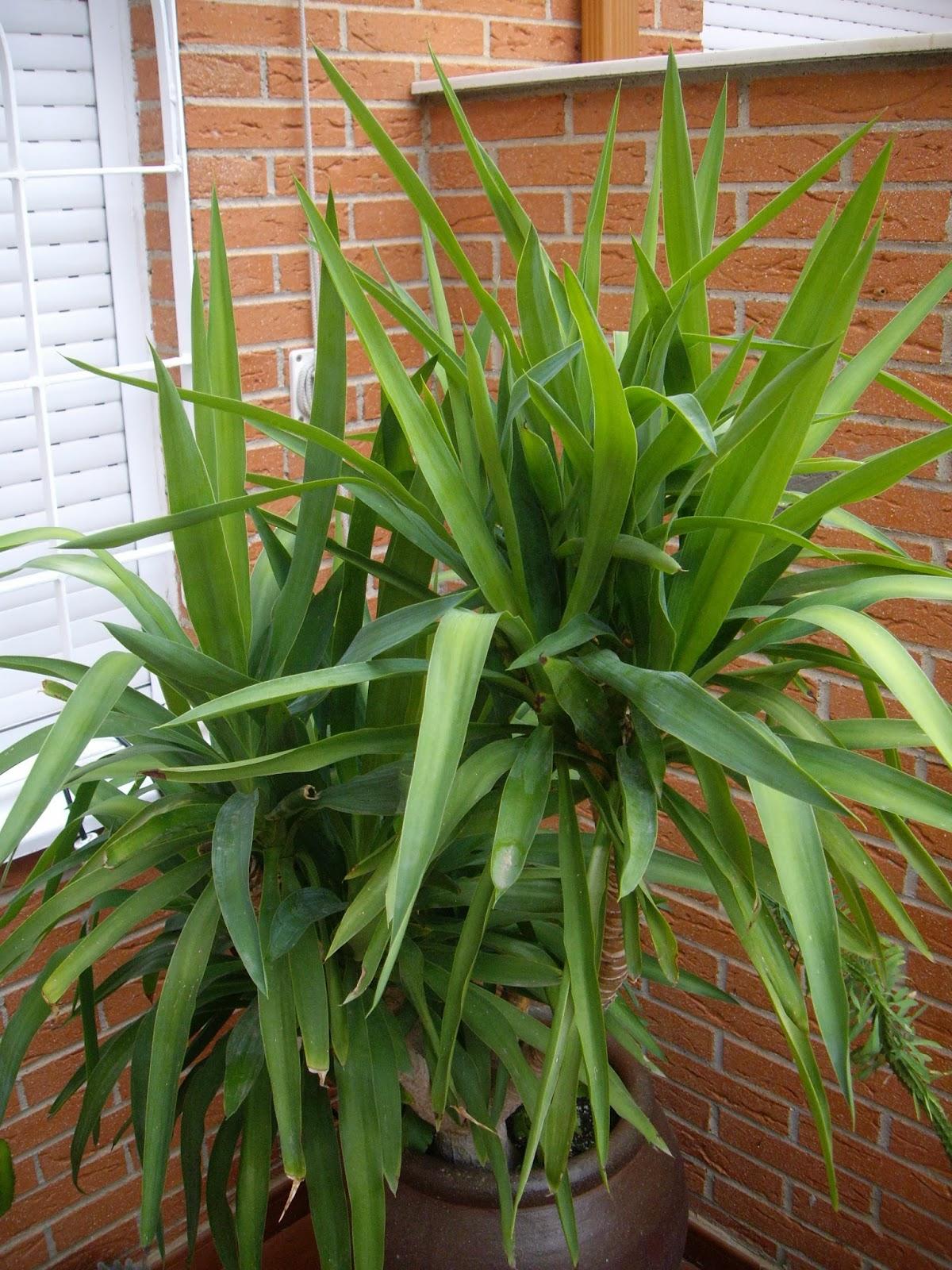 La mar de verde yucca elephantipes o yuca pie de elefante for Planta yuca exterior