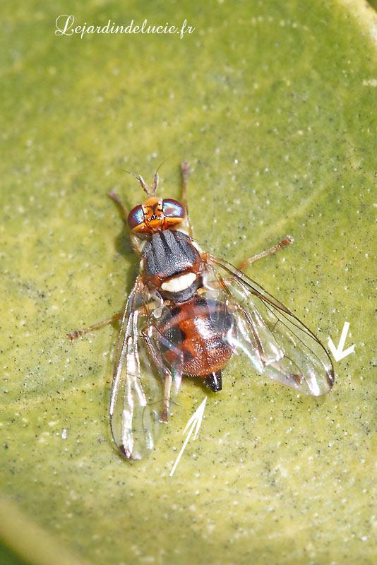 Bactrocera olea la mouche de l 39 olivier - Insecticide mouche de l olive ...