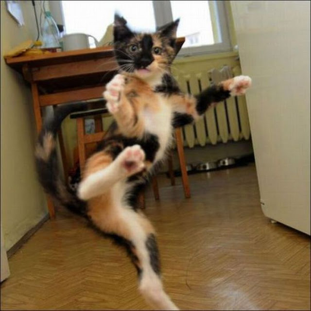 funny animal pictures, karate cat