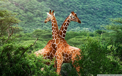 Two African Giraffes (attack) fighting each other