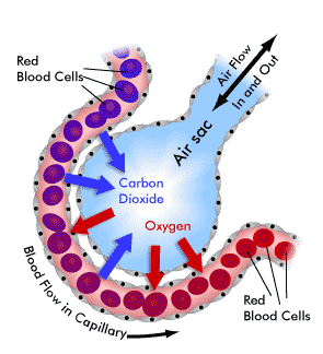 50 the gas exchange system biology notes for a level : diagram of alveoli - findchart.co