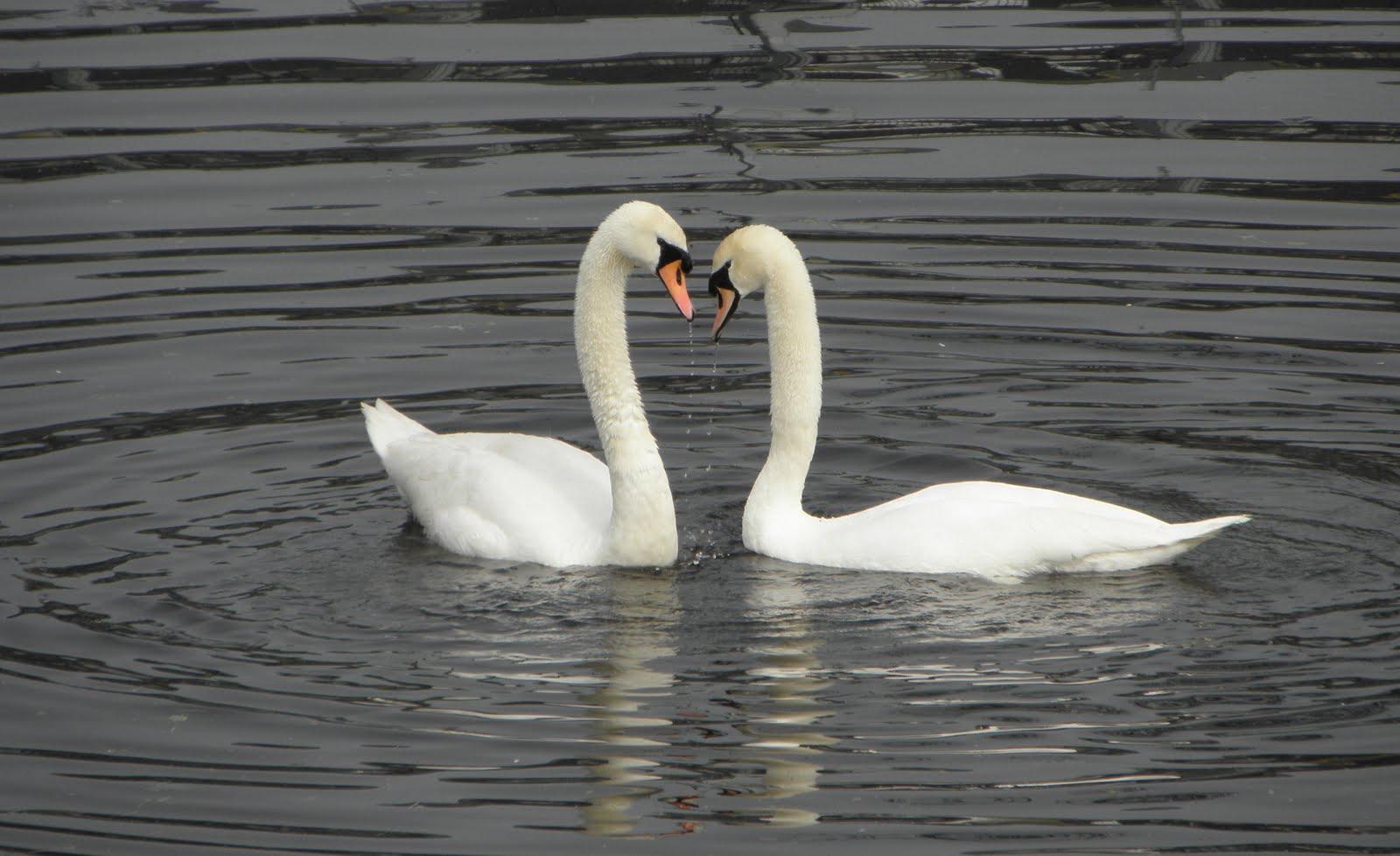 Hackney wick swans