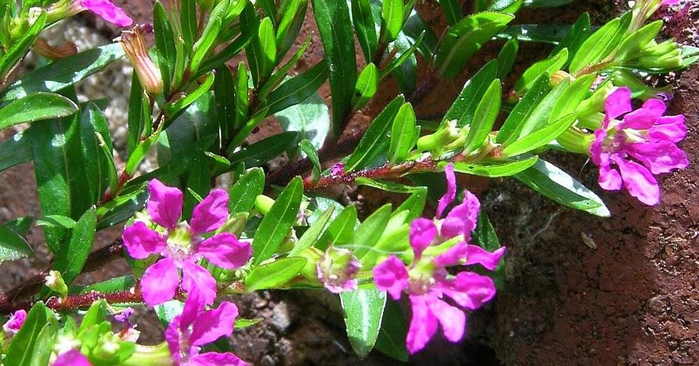Cuphea hyssopifolia flore de l le de la r union for Entretien jardin reunion