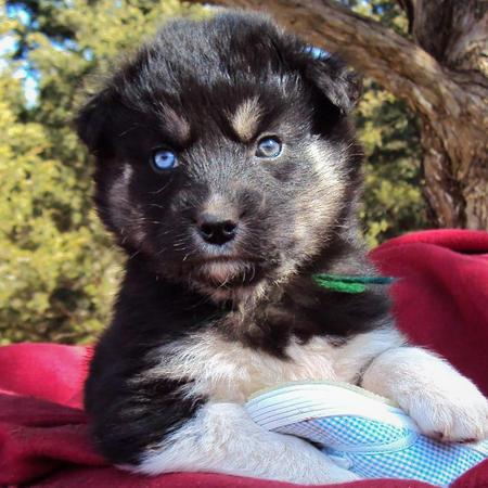 The German Shepherd German Shepherd Husky Mix Puppies
