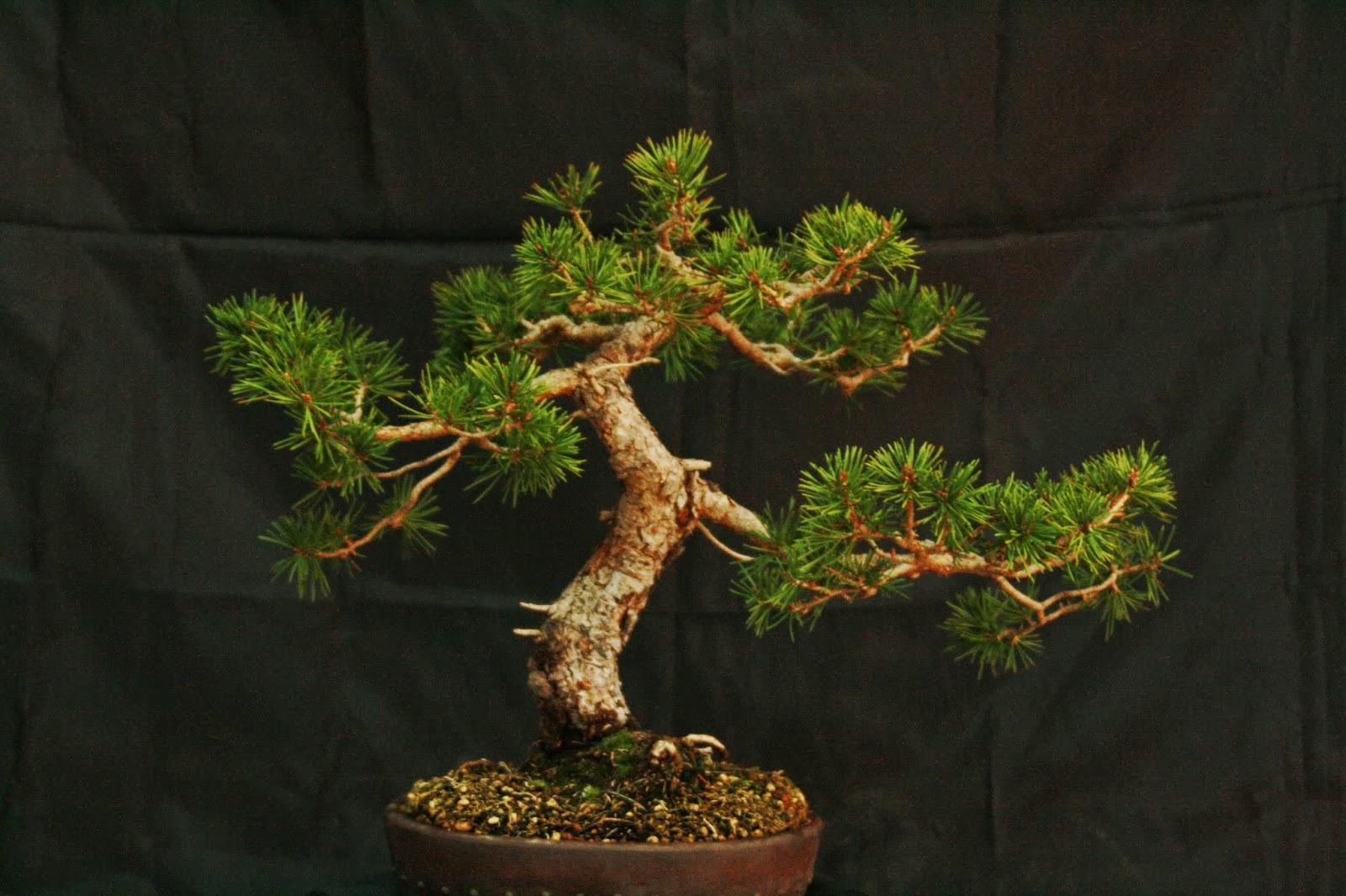 El pino de pepe escuela bonsai valencia for Bonsai pepe