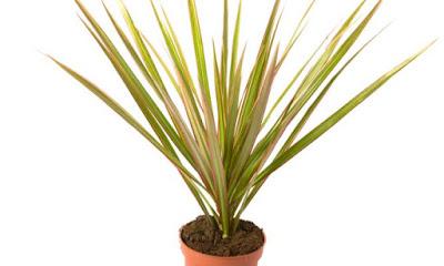 Planta Dracaena