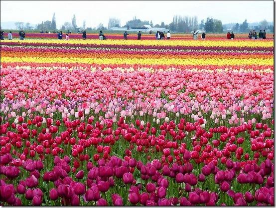 ini dia ne foto-foto bunga tulipnya,,, yuk mariii tengok..:)