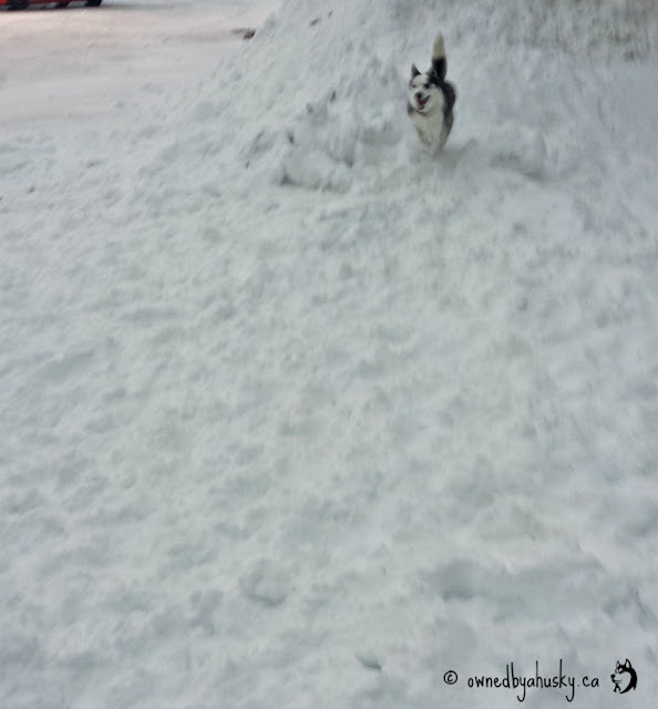 Siberian Husky playing in the snow