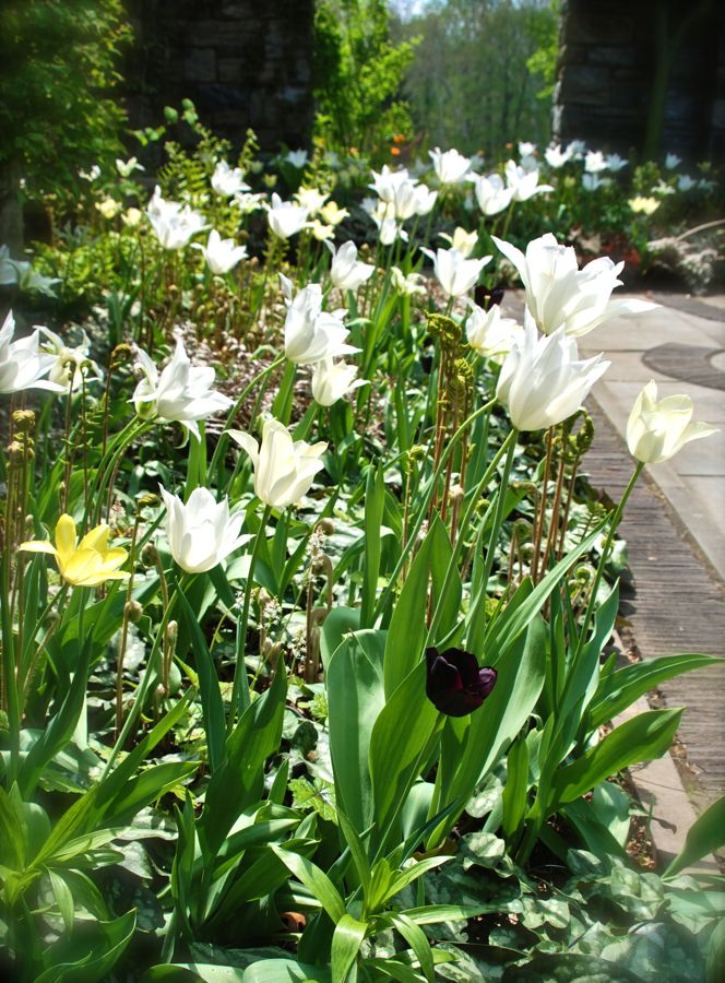 Tulipa 'White Triumphator', Tulipa 'Moonlight Girl' and Tulipa 'Paul Scherer' shine in the April sunlight in the Ruin Garden.
