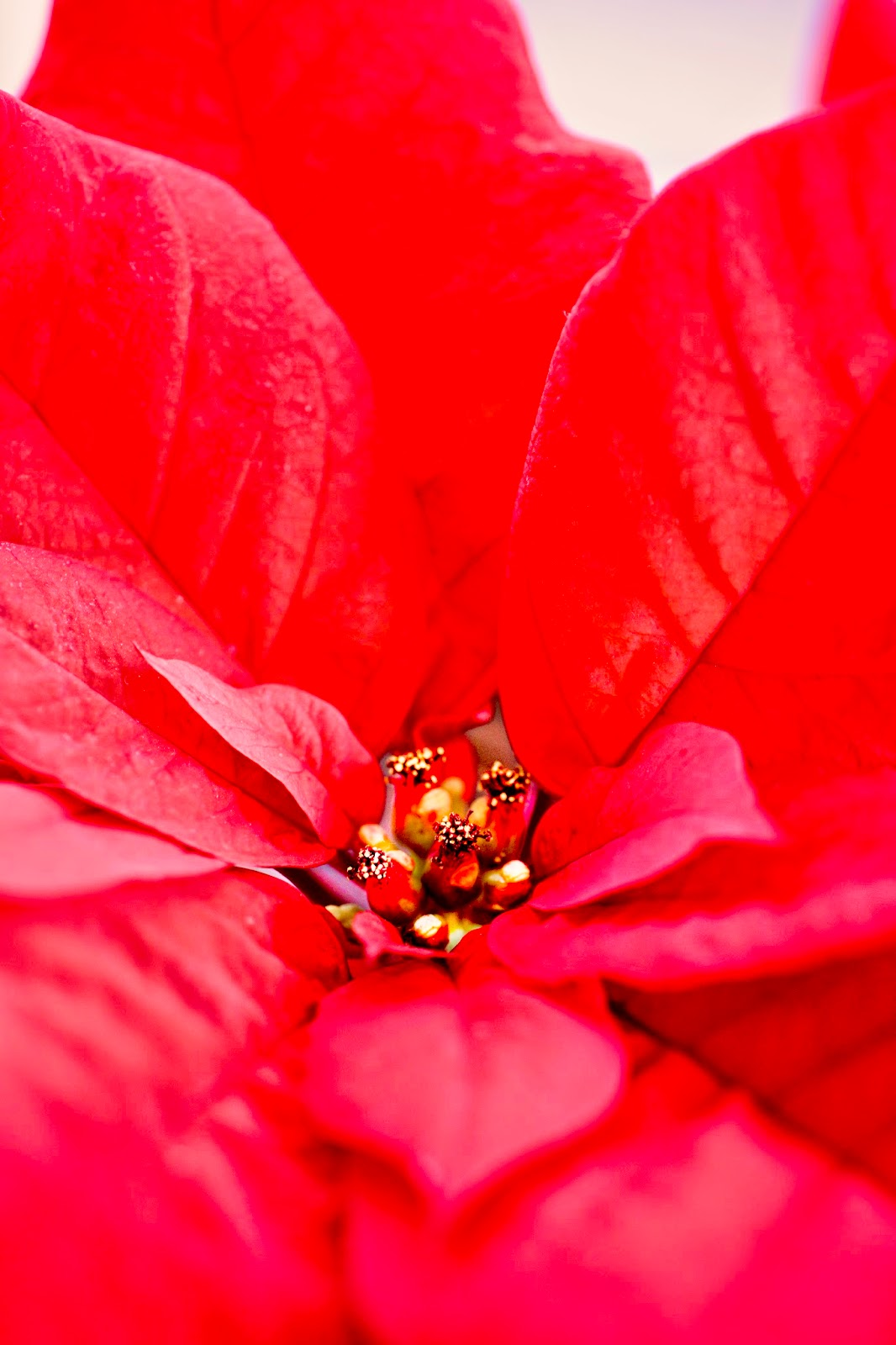 Poinsettia © Louise Jolley