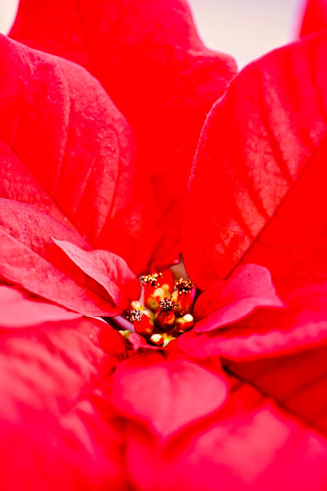 Poinsettia © Louise Jolley