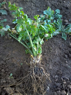 celeriac without a root bulb