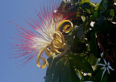 flor da Munguba-Goiânia-foto Elma Carneiro