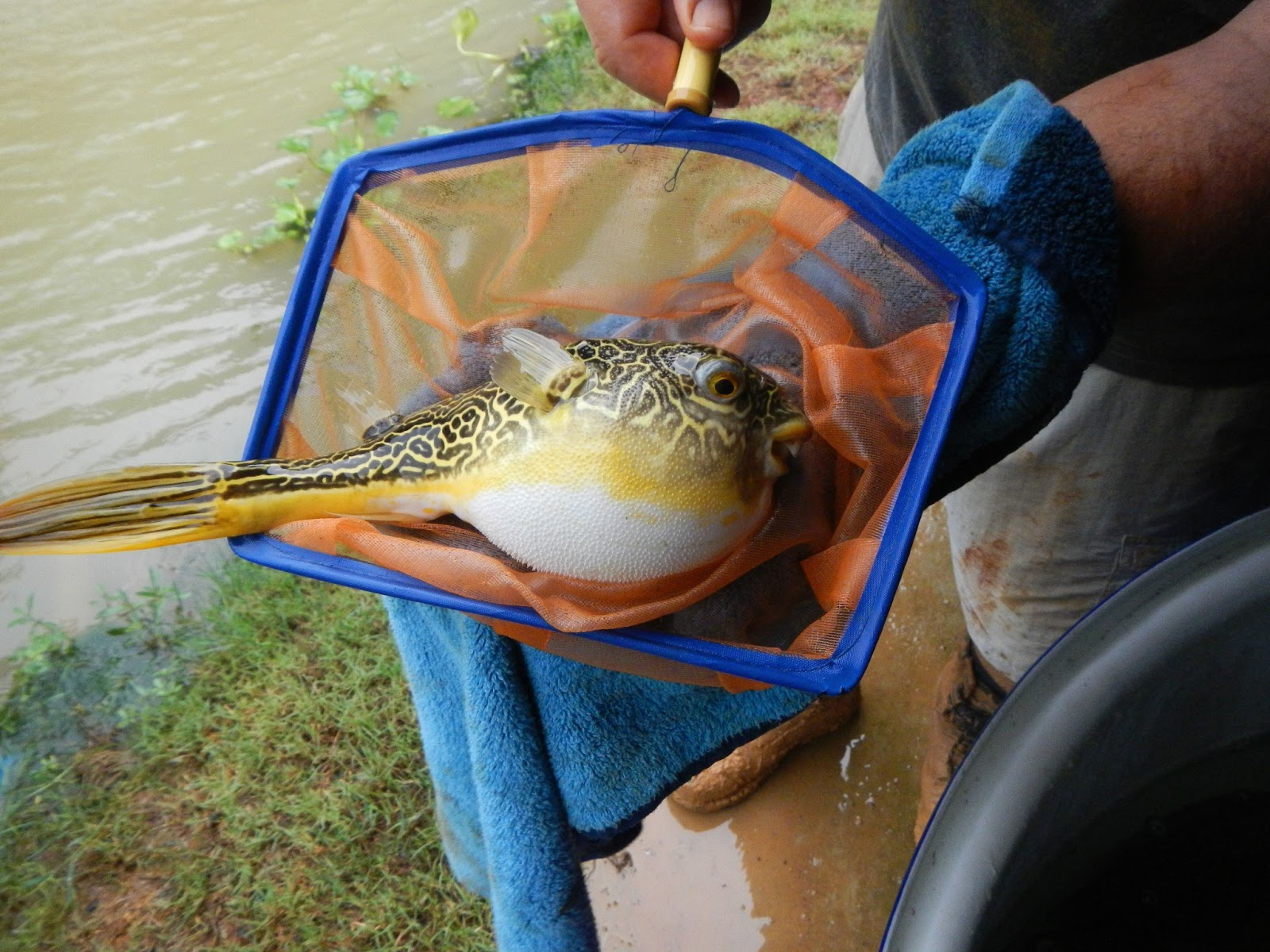 Exotic fishing thailand july 2013 for Cool fresh water fish