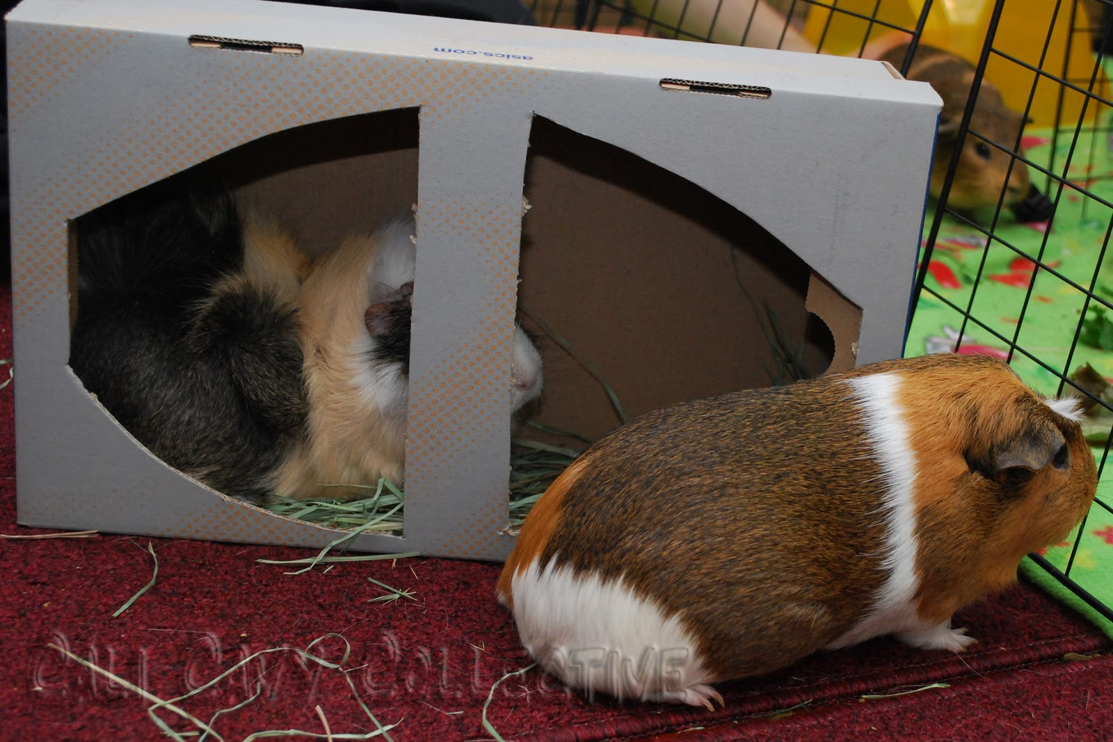 ... blog about all things guinea pig: DIY guinea pig toy: shoebox and hay
