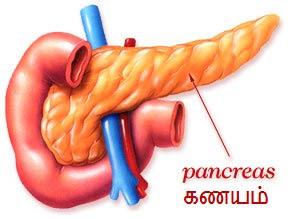 pancreas1 வா.. வரையும் சரித்திரச் சித்திரம் - பகுதி - 9