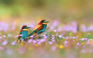 Pair of European Bee-eater