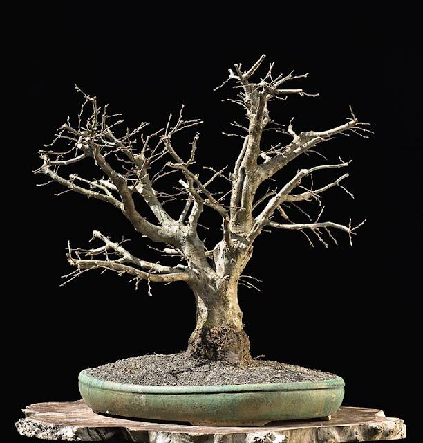 walter pall bonsai articles january 2013. Black Bedroom Furniture Sets. Home Design Ideas