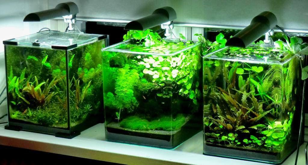 Betta fish tank mates 3 gallon betta fishies on for Plante nano aquarium
