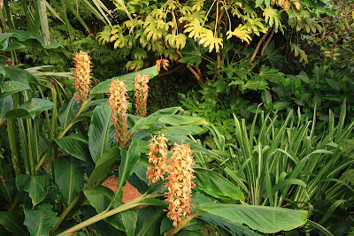 Hedychium 'Stephen' in the garden