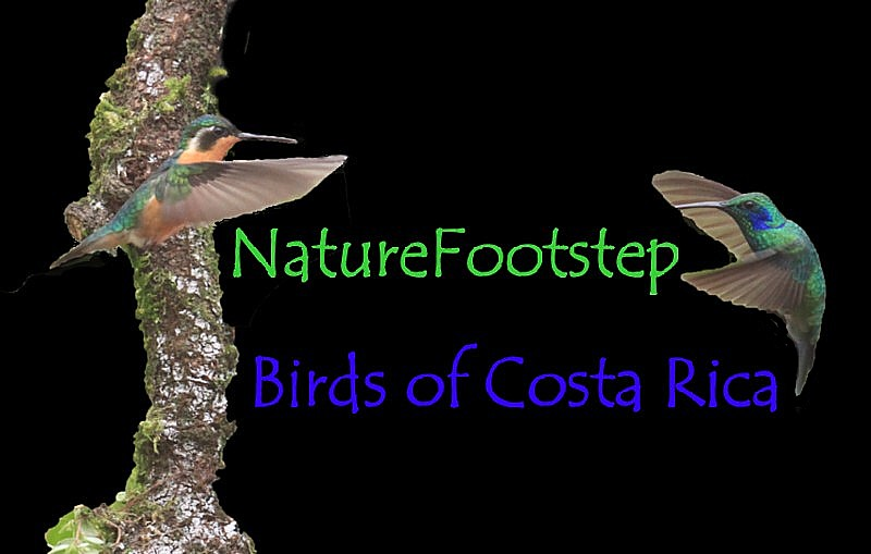 NatureFootstep Birds in  Costa_Rica