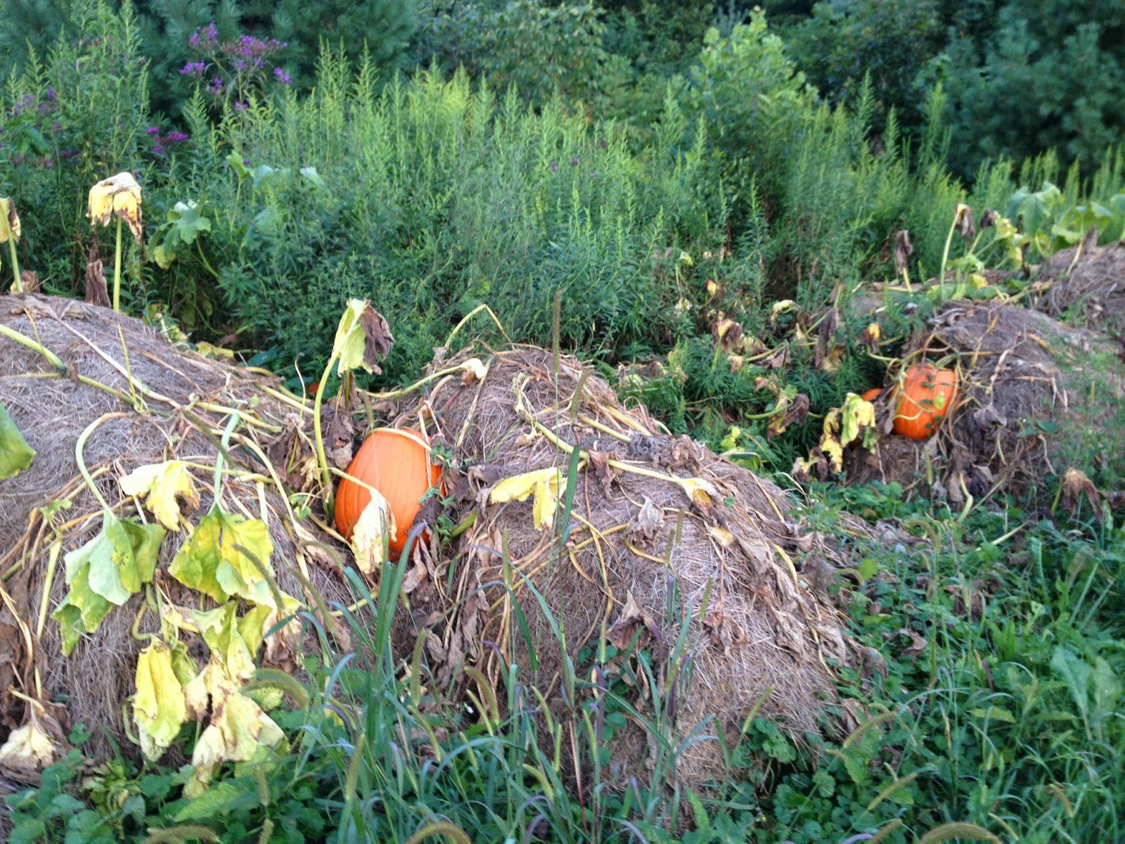 growing plants in hay bales Growing, Writing, Creating: The Great Pumpkin....patch