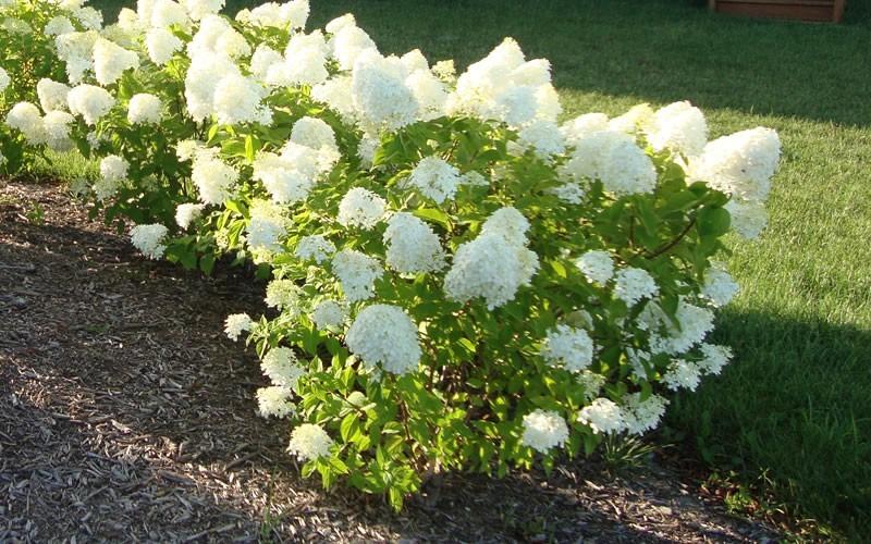 Dr. Danu0026#39;s Garden Tips: The Range of Hydrangea