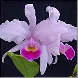 Orquidea Colombiana