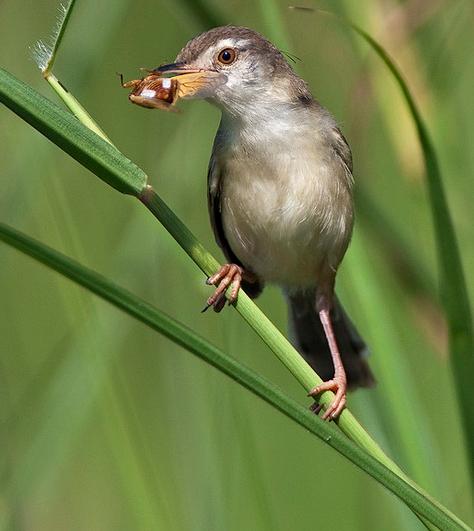 Jenis - Jenis Burung Ciblek | Suara Burung Kicau
