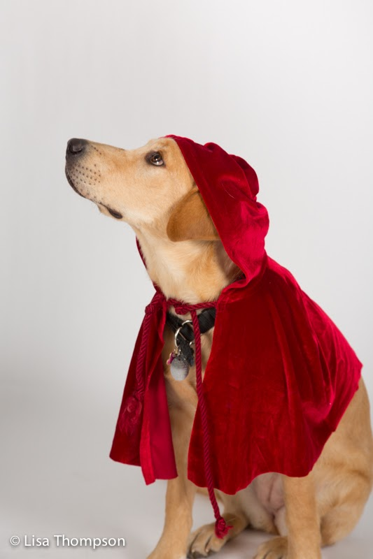 Yellow lab puppy Penne dressed as Little Red Riding Hood looks up at the camera.