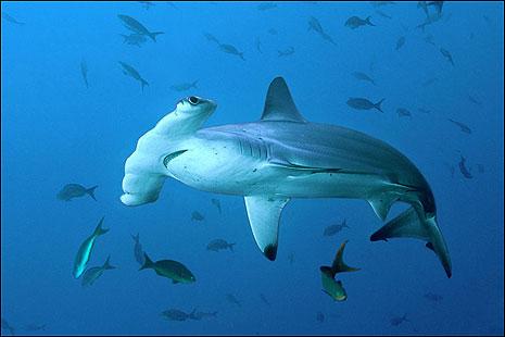 http://4.bp.blogspot.com/-V-kSlQgX0J8/Tb_bcofzZTI/AAAAAAAAABM/vHtg7qMQzZg/s1600/scalloped_hammerhead_shark.jpg