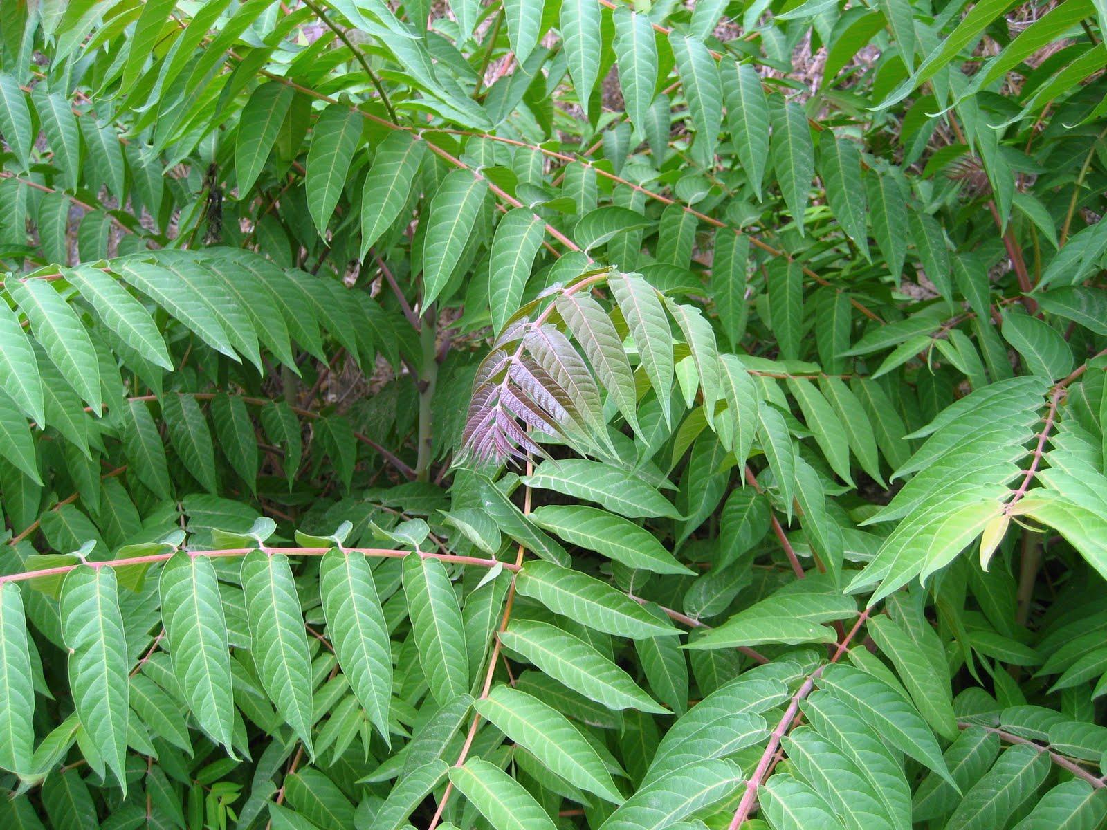 Rboles con alma ailanto rbol del cielo vernis del for El arbol que no tiene hojas