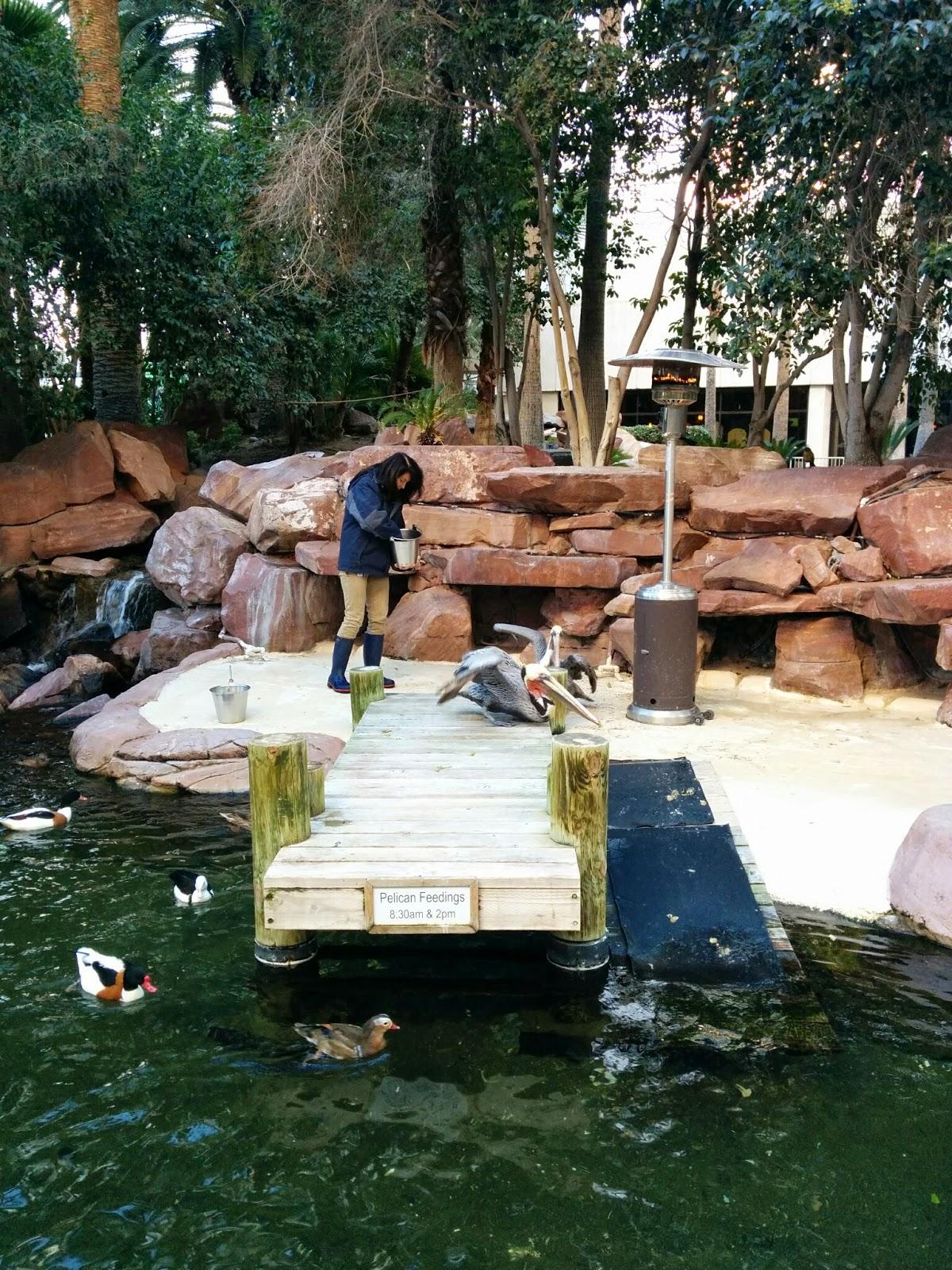 Pelican Feeding at the Wildlife Habitat at The Flamingo | Las Vegas