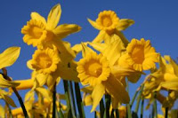 Daffodills by kirsche222 of sxc.hu