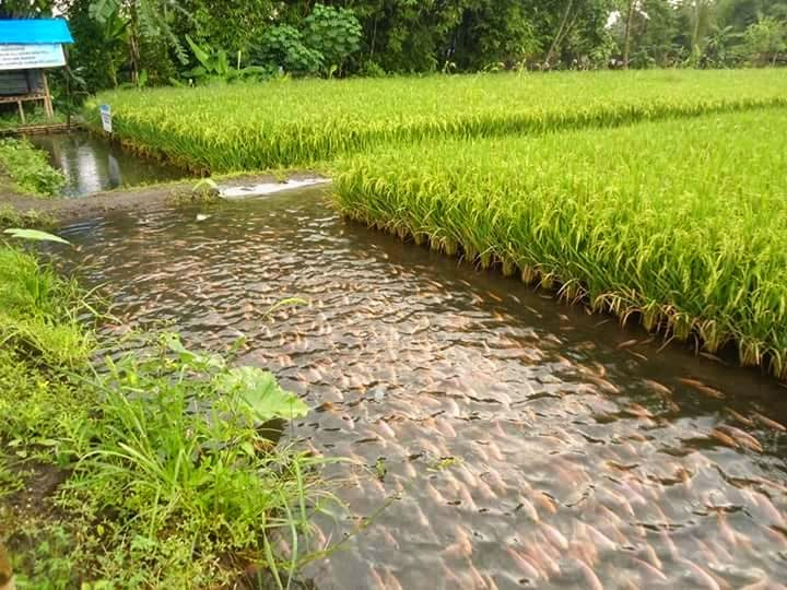 In Photos : Amazing Rice-fish farming in China, Indonesia ...