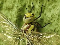 Libellenkopf und -augen...