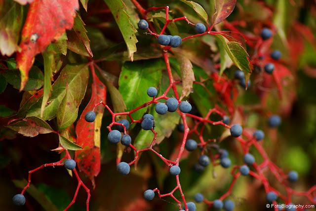 Autumn Berries3