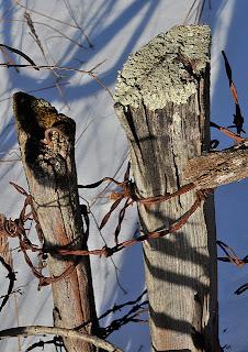 Black locust fenceposts, over 60 years old.
