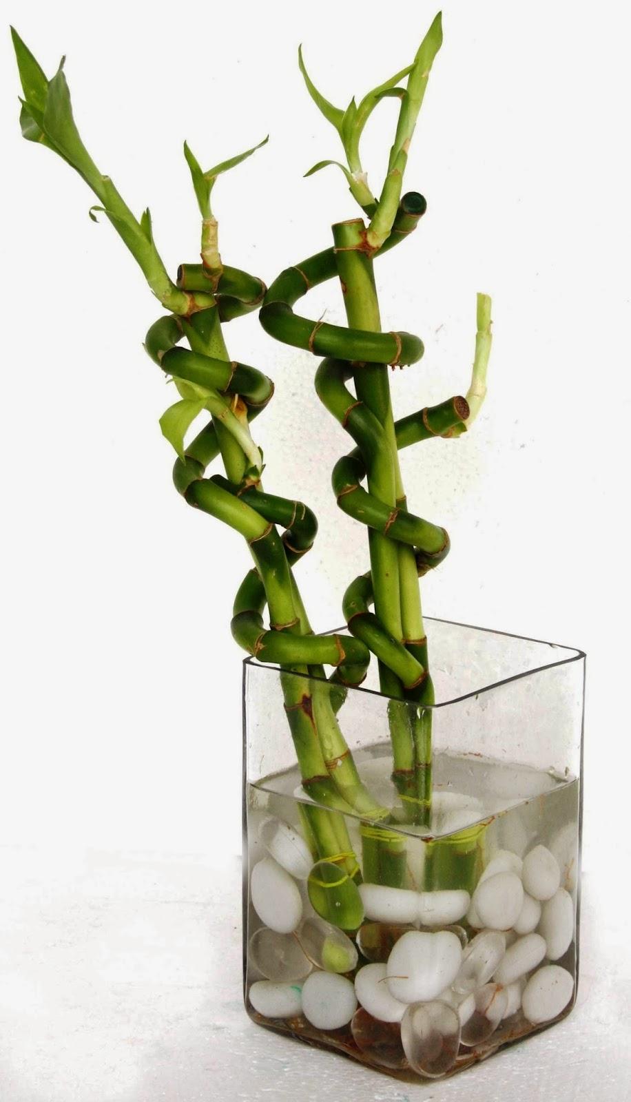 Драцена уход в домашних условиях фото бамбука