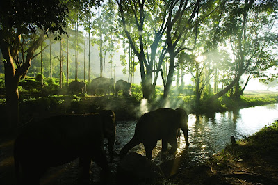 Elephants Migrating Through a Thailand Forest River