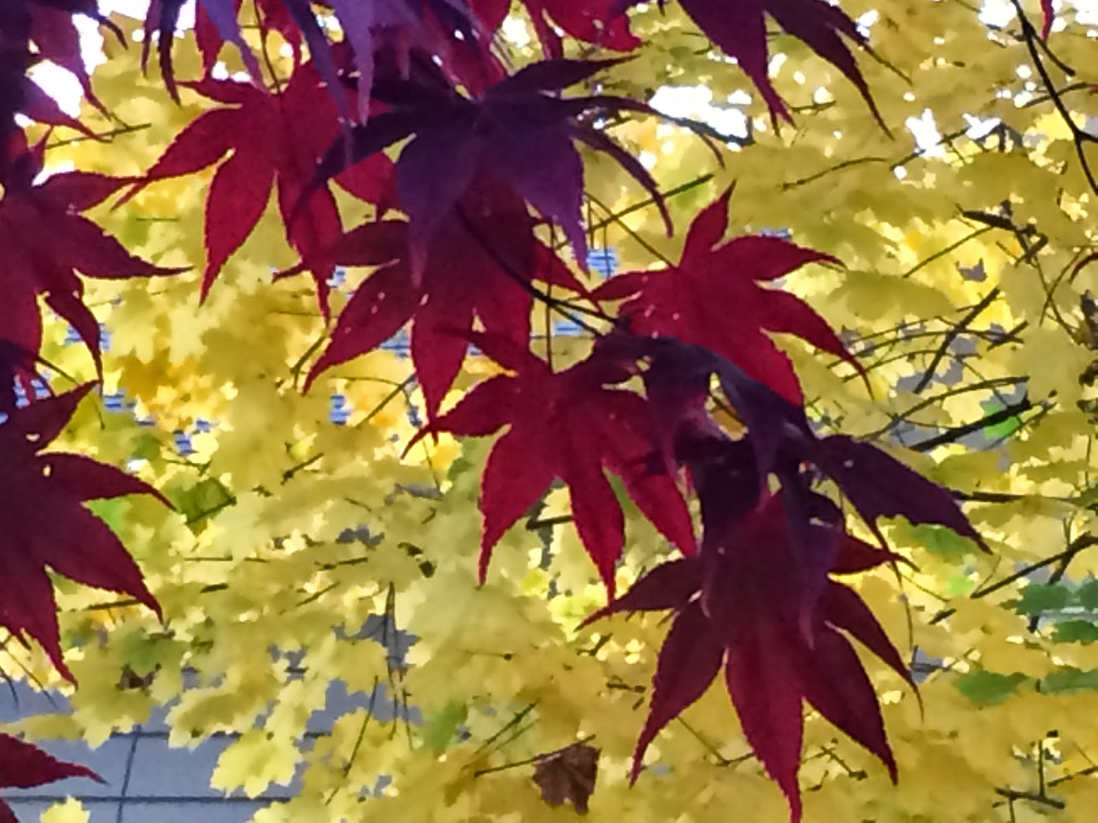 Japanese Maple  © Kim Moulder, All Rights Reserved.
