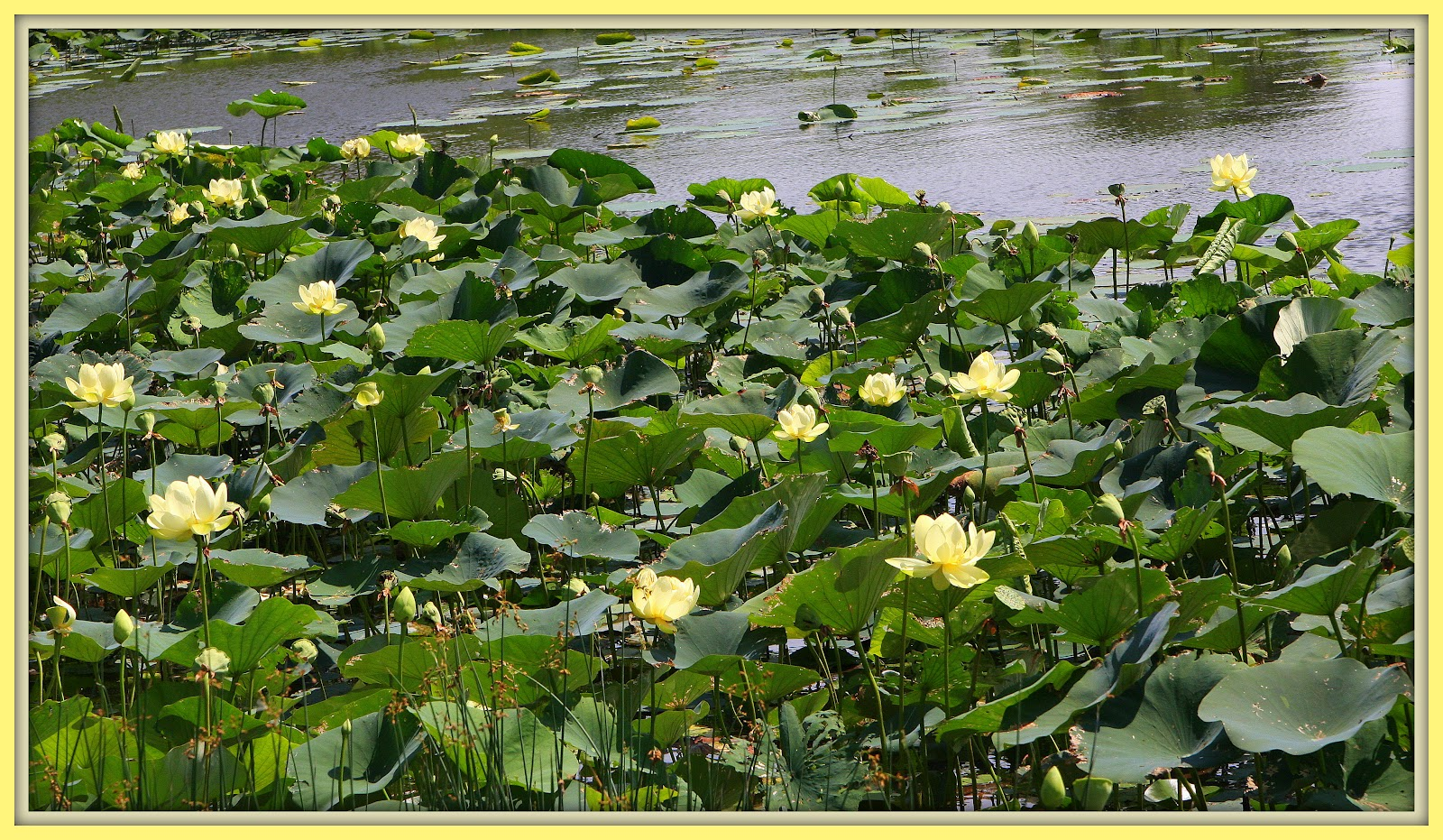 Walk with father nature american lotus it grows in quiet streams ponds and lakes range ontario to maine south to florida west to texas and north to nebraska iowa and minnesota mightylinksfo