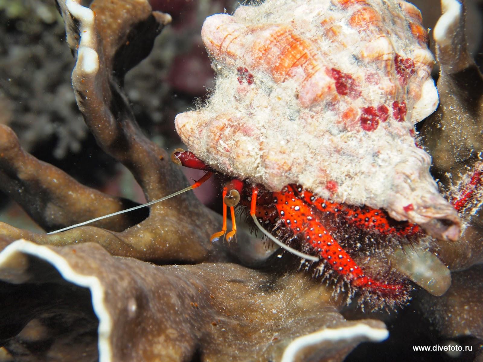 Краб отшельник. Индонезия. фото