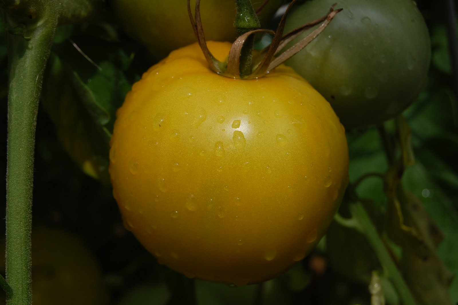Difference Between Determinant & Indeterminate Tomato Plants
