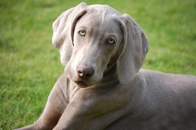 Weimaraner   Australian Dog Lover