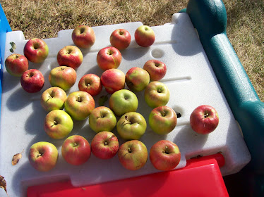 Apples from our apple tree