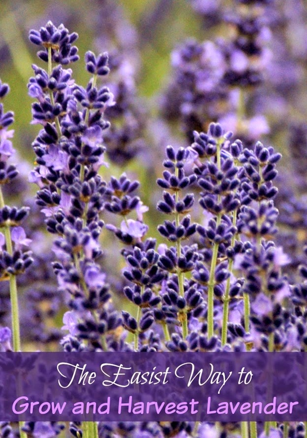 How to Grow & Harvest Lavender, shared by Faith Filled Food for Moms