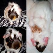MACCHIATO GUINEA PIG